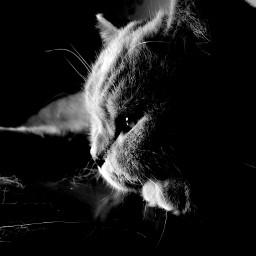 black & white cat pets & animals