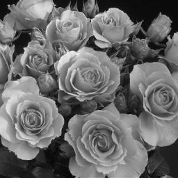 roses rose valentinsday cute love